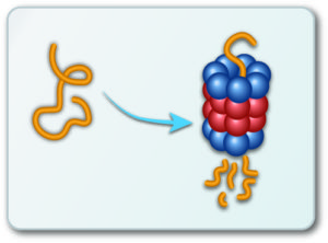 Schematic showing degradation of protein by 'shredding' through the proteosome complex. Source: http://0-www.mdpi.com.brum.beds.ac.uk/2218-273X/4/3/862 (Creative Commons)