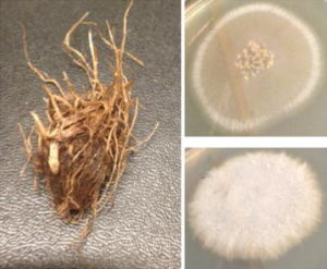 Rhizome of Cyperus rotundus and the two fungal cultures associated with it. Source: http://0-malariajournal.biomedcentral.com.brum.beds.ac.uk/articles/10.1186/s12936-016-1536-7