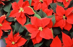 Poinsettia, Euphorbia pulcherrima (Source: United States Department of Agriculture)