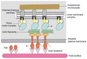 The acto-myosin motor complex. Image from http://www.bio.umass.edu/micro/klingbeil/590s/Reading/soldatirev22004.pdf