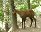 The Pyrenean chamois