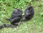 silver_back_gorillas