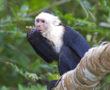 White_faced_Capuchin