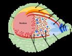 Plasmodium merzoite wikicommons