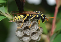440px-Wasp_March_2008-3