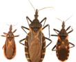 Three_species_of_kissing_bugs