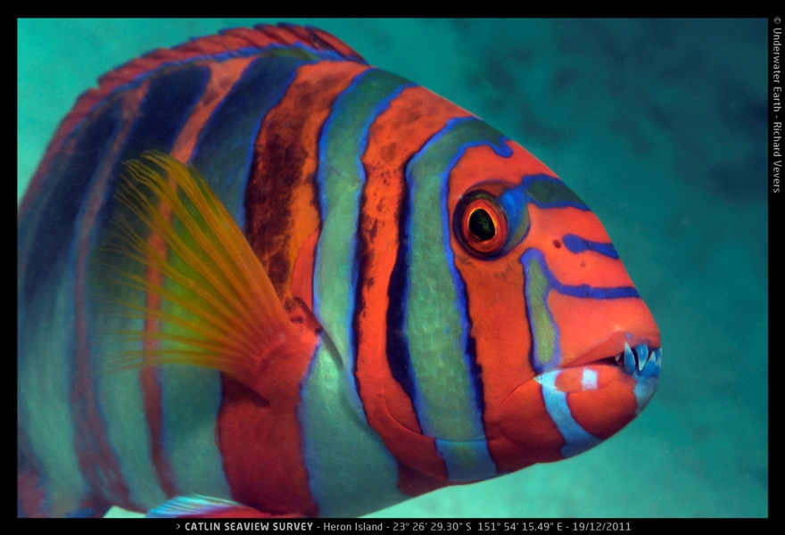 A Harlequin Tuskfish encountered by the survey team near Heron Island