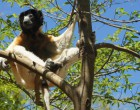 Lemurs are native only to Madagascar and the neighbouring Comoros Islands