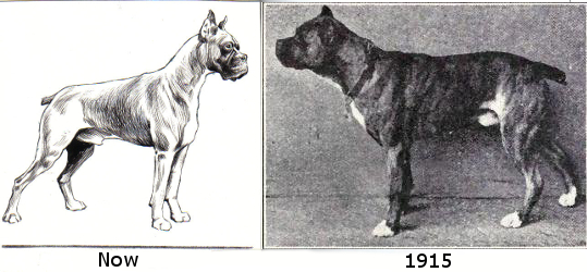 The boxer's shape has changed dramatically over the last century as a result of overbreeding, now increasingly prone to arthritis, hip dysplasia and overheating. Images from public domain.