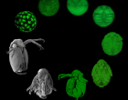 Daphnia magna at various stages of development.