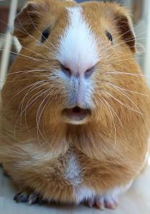 Guinea pig wikimedia
