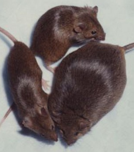 An FTO mouse (from a news story 'confirming' the role of FTO in obesity)