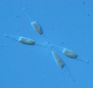 P. tricornutum