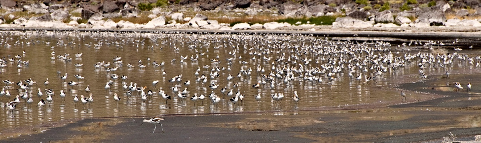 American avocets (Recurvirostra americana) feeding in shallow water along the shoreline of Lake Abert August 2009.