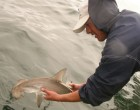 Researcher releasing a tagged hammerhead shark