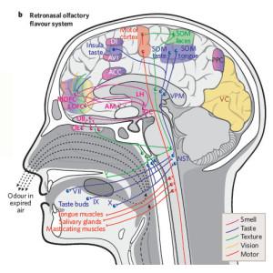 Retronasal olfactory flavour system.