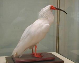 http://commons.wikimedia.org/wiki/File:Ibis_KIN.JPG