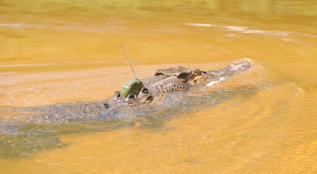 Estuarine crocodile with GPS tag. Image Credit: Craig E. Franklin