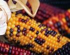 Corn_cropped