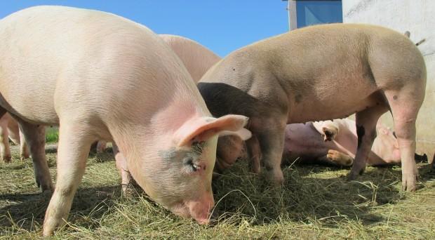 Porcine Health Management