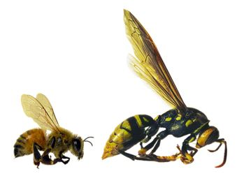 wasp bee evolution