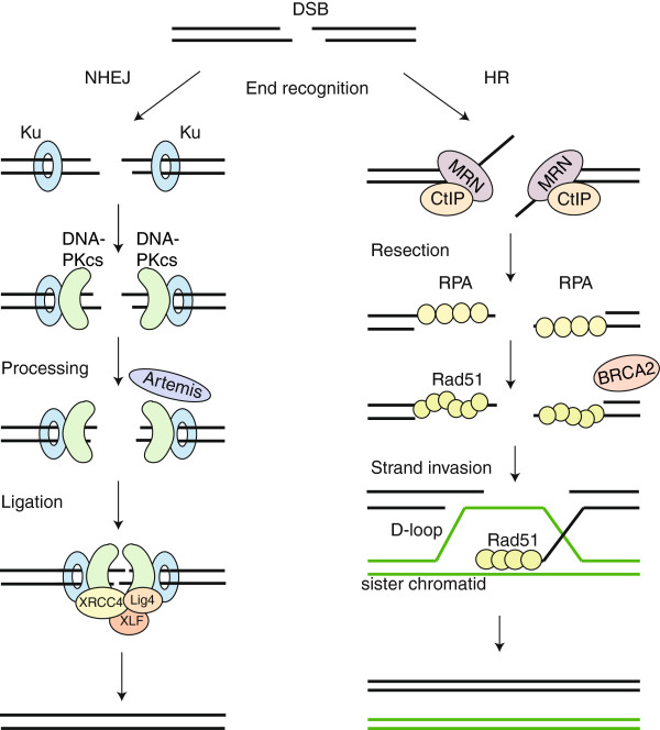 On the left: NHEJ; on the right: homology-directed repair. The latter is much slower and requires a template, but at the same time repairs DNA in a much more precise way.