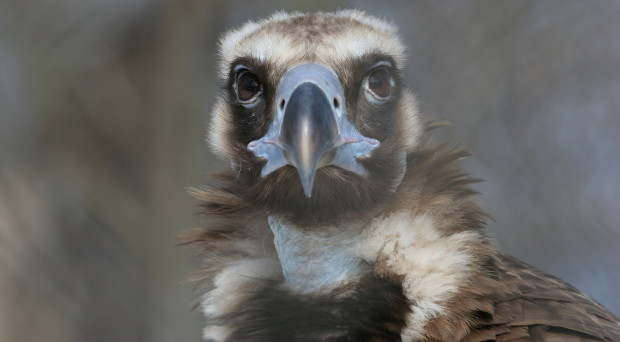 Why did we want to sequence the genome of the cinereous vulture?