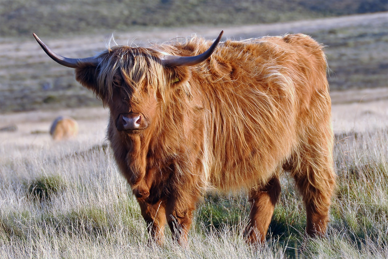 Scottish Highland cattle display the strongest genomic signal of ancient crossbreeding with British aurochs.
