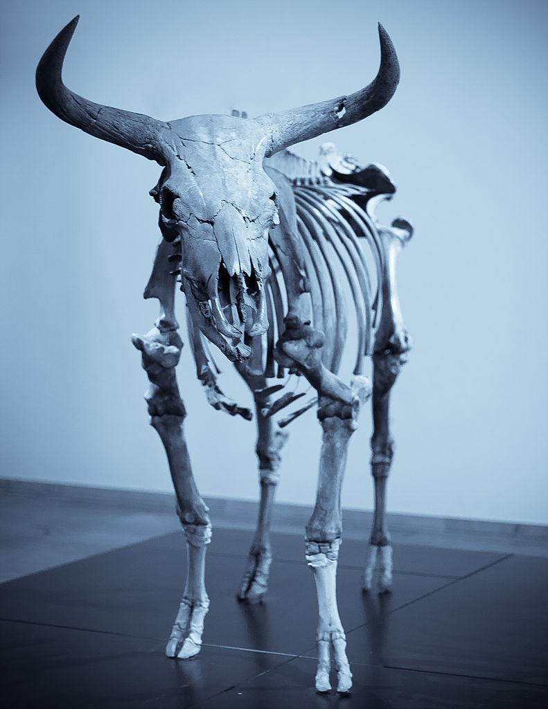 Mounted skeleton of a European aurochs in the National Museum of Denmark in Copenhagen. Aurochs were significantly larger than modern domestic cattle with bulls reaching a height of 180 cm at the shoulder.
