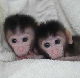 First primates to have their genomes edited.