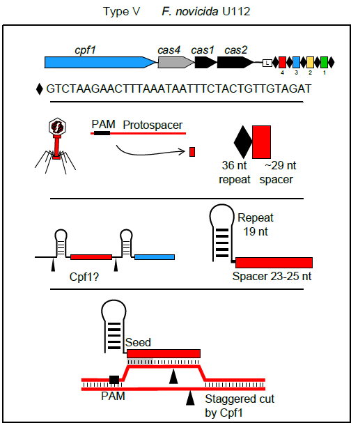 Overview of class 2 type V CRISPR system involving a new endonuclease - Cpf1