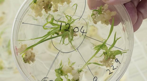 How is CRISPR/Cas9 used to genetically modify plants?