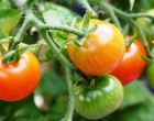 Precise editing of tomato genome