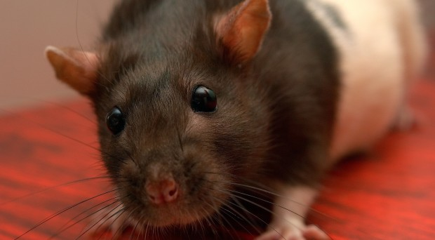How does the estrous cycle affect gene expression in female rats?