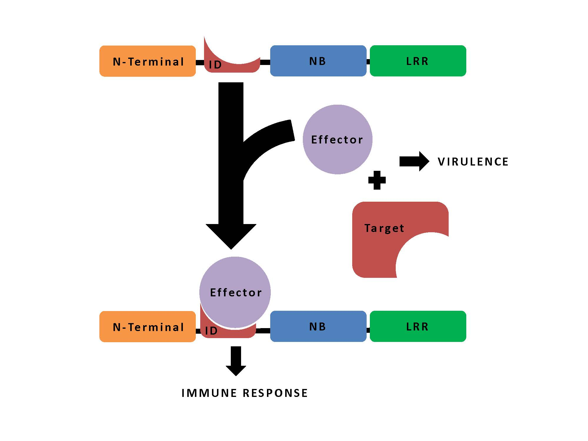 A schematic of NLR-ID mediated immunity.