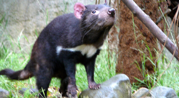 Does the microbiome hold the secret to successfully conserving the Tasmanian devil species?