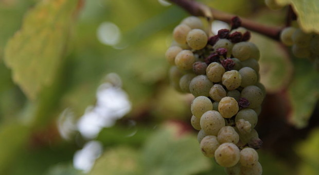 800px-Botrytis_cinerea_on_wine_graps