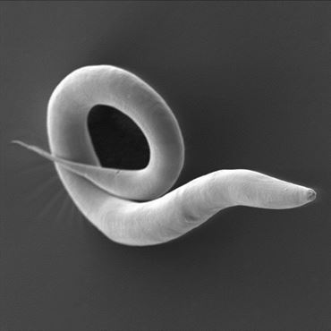 Our research team investigated for the first time the natural bacterial community of the roundworm Caenorhabditis elegans.