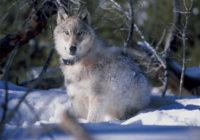 Yellowstone Wolf Collaring