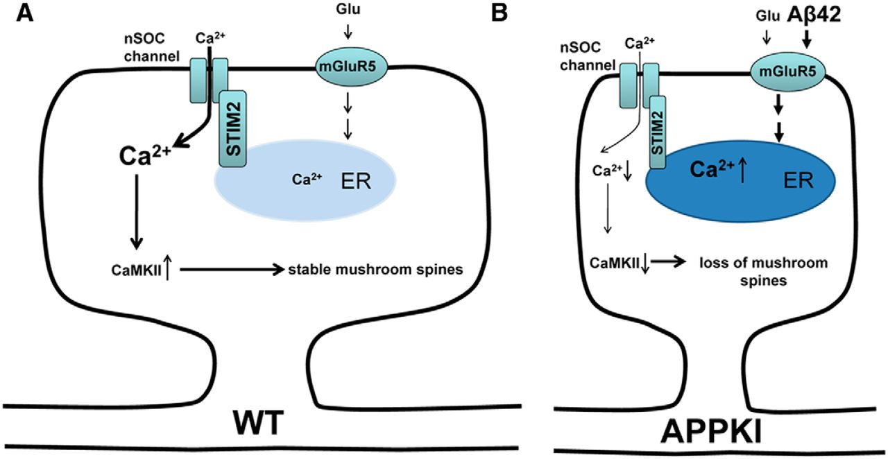 "A schematic showing the maintenance of mushroom hippocampal spines in a wild-type neuron (A), and how in an APP-Knock-in neuron, accumulation of extracellular Aβ42 leads to constituent mGLUR5 activation, and ultimately results in mushroom spine loss (B). Republished with permission of The Journal of Neuroscience, from Neuronal Store-Operated Calcium Entry and Mushroom Spine Loss in Amyloid Precursor Protein Knock-In Mouse Model of Alzheimer's Disease"", Zhang et al., 35 (39), 2015; permission conveyed through Copyright Clearance Center, Inc."