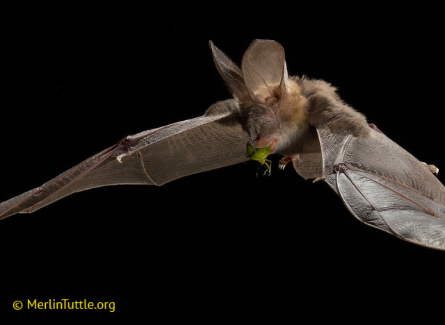 The Common or Egyptian slit-faced bat (Nycteris thebaica).