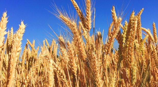 Could wheat be naturally nitrogen fixing in the future?