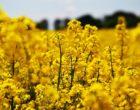 oilseed-rape-1494662_640