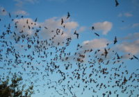 Mexican_free-tailed_bats_exiting_Bracken_Bat_Cave_(8006833815)