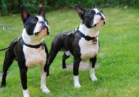 1280px-Bostonterriers-belos-and-zeus-uwe-meer