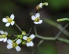 Arabidopsis 6