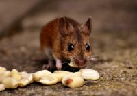 wood-mouse-2826217_960_720