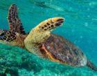 800px-Green_turtle_swimming_in_Kona_May_2010