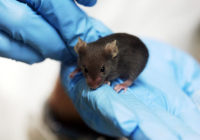 800px-Lab_mouse_mg_3213