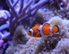 clownfish in coral reef